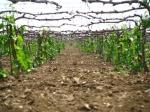 Услуги по обрезке винограда